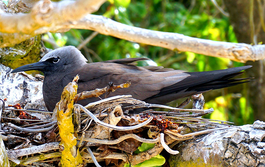 Brown noddys nest during the South east monsoon