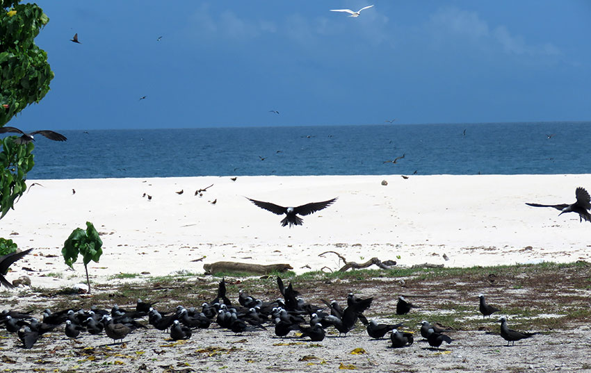 During brown and lesser noddy season the island is full of birds