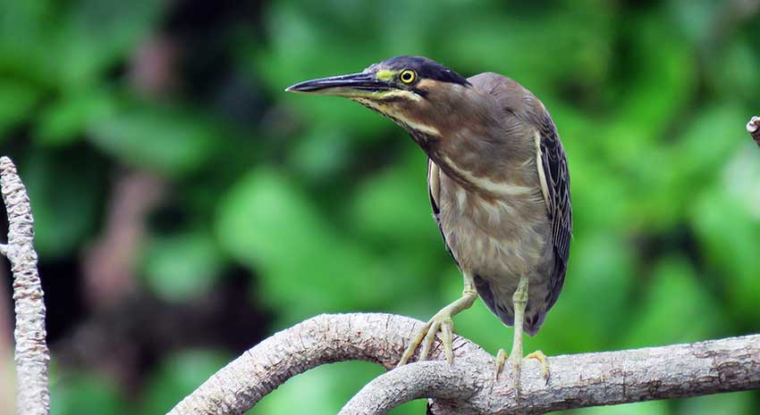 Green backed heron fauna and flora has been coaxed back to the site