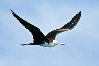 greater frigatebird
